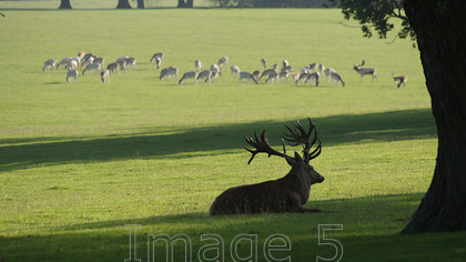 redherd2 