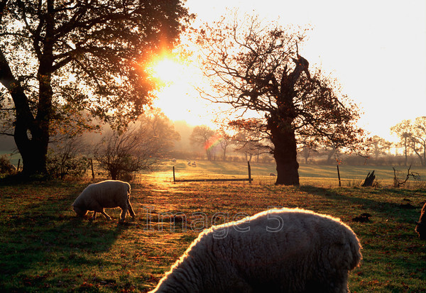 sunwebssheep 