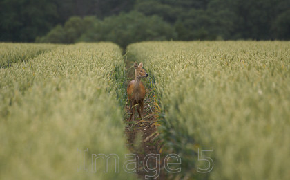 roewheatright 
