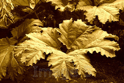 gunneratop sepia 