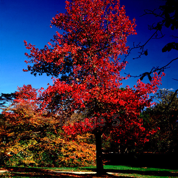 redmaplewoburn 