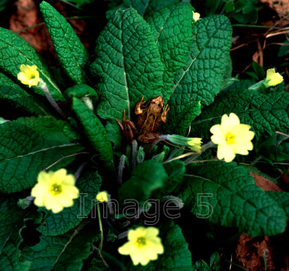 frogonprimrose 
