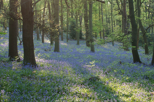 oakblue 