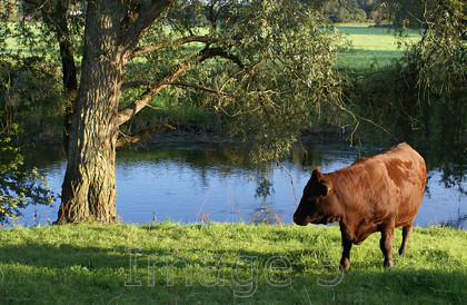 cowshadow 