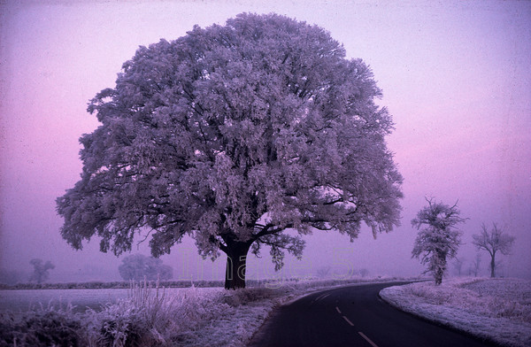 rimeicetree 