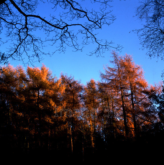 larchtreetops 
